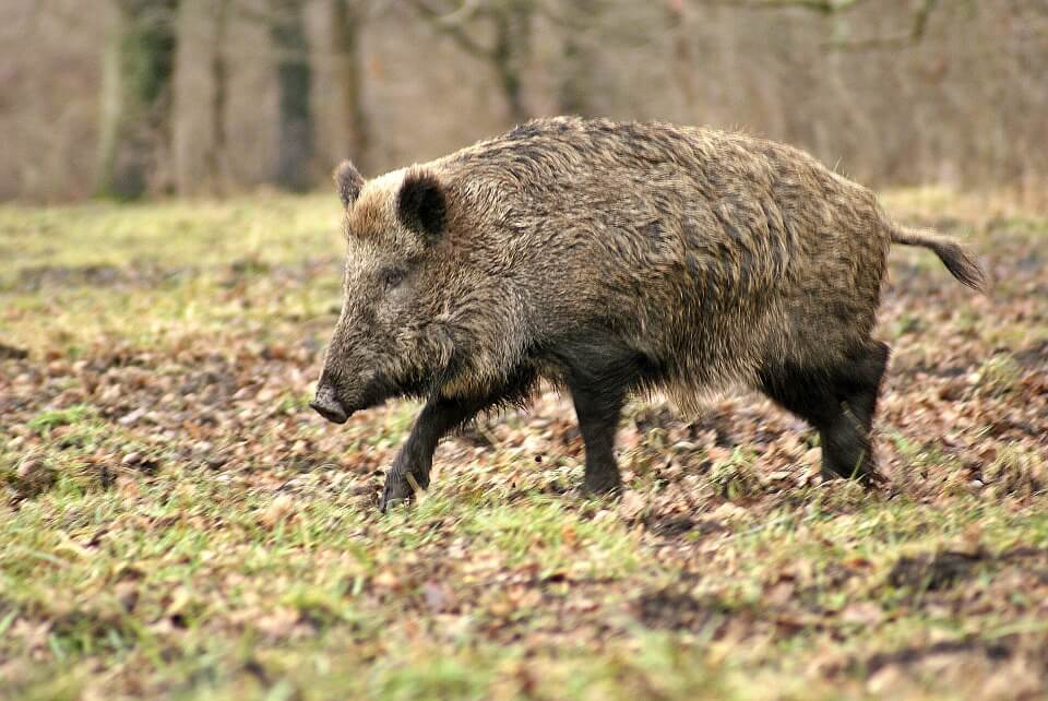Zone Peste Porcine : il y a urgence que les travaux reprennent !